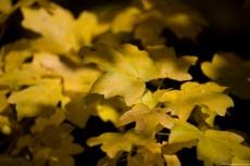 Maple-leaves-230x153