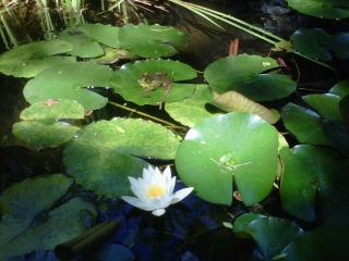 MaryBeth'sLilly Pond